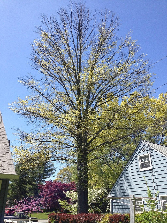 Bacterial leaf scorch tree disease
