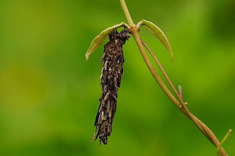 Bagworm on a deciduous plant