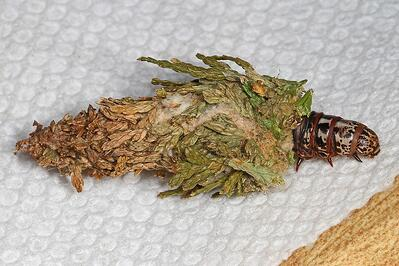 Bagworm with casing