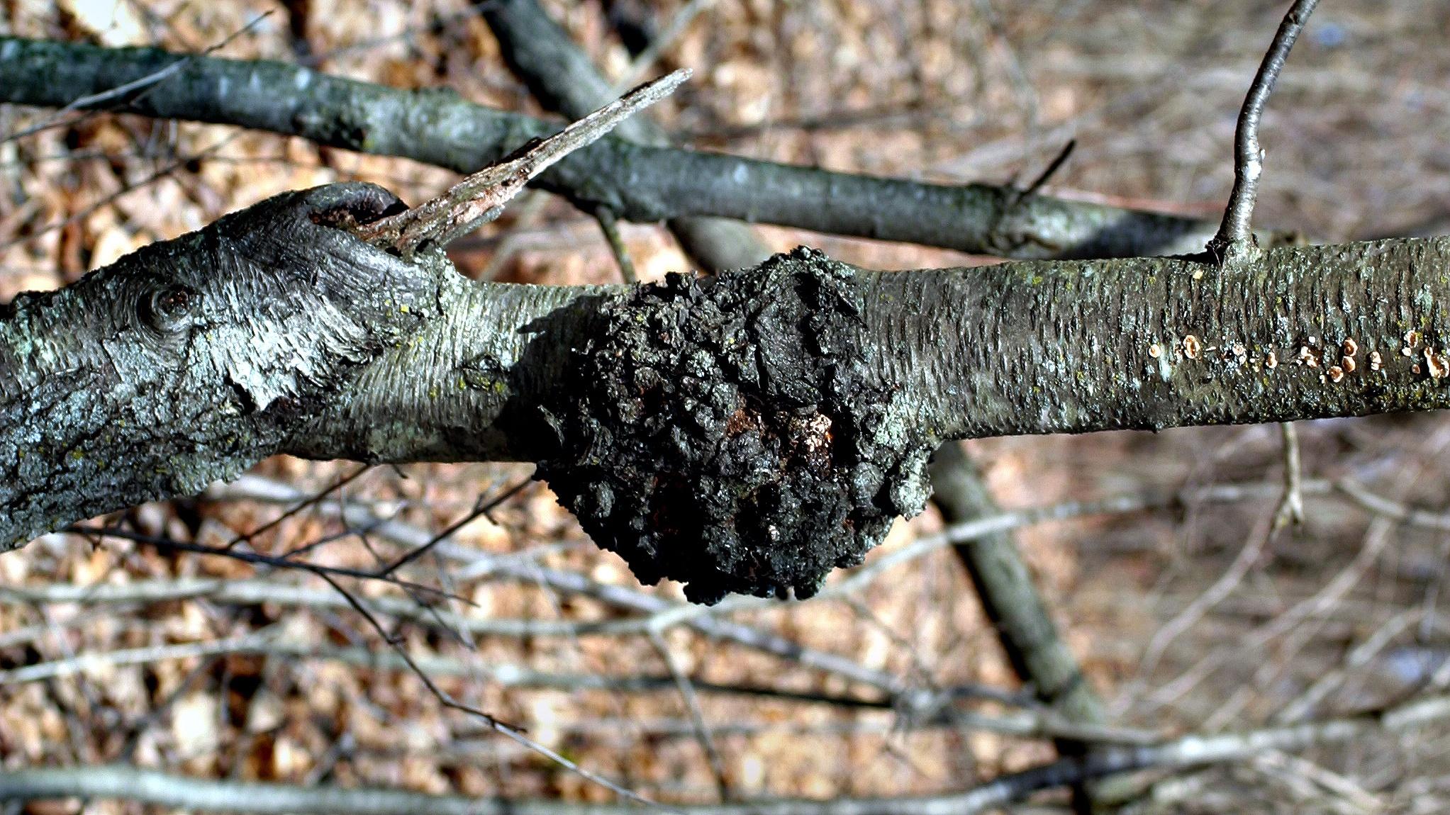 Black_knot_on_black_cherry