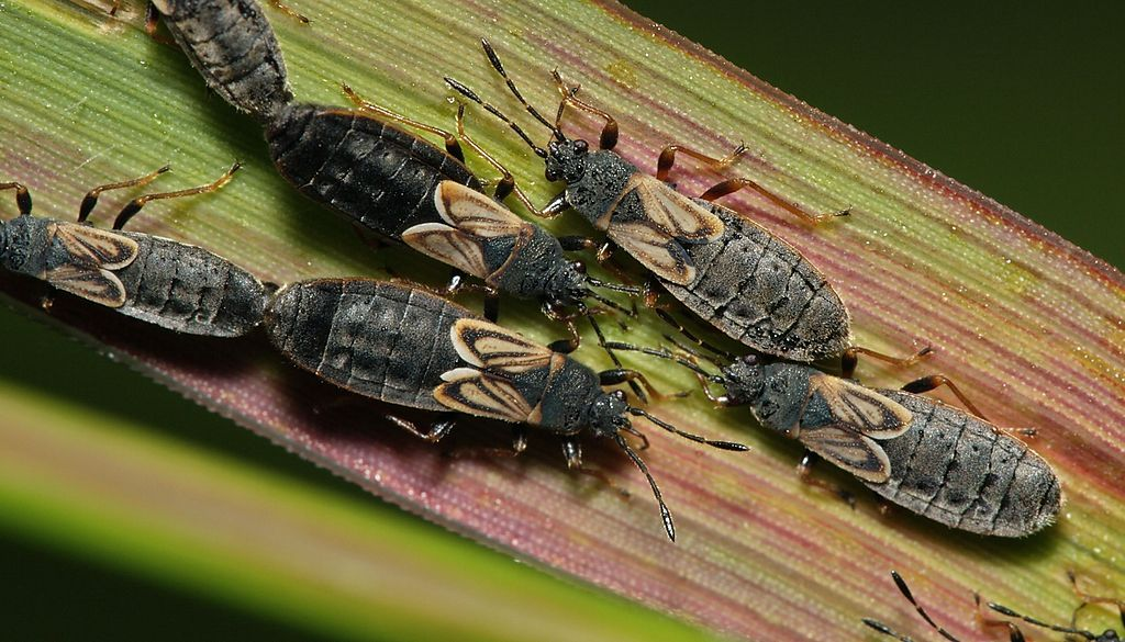 Chinch bugs on leaf