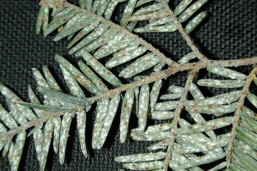 Elongate Hemlock Scale on leaves