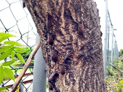 Spotted Lanternflies on Tree