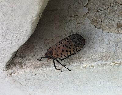 Spotted Lantern fly on stone