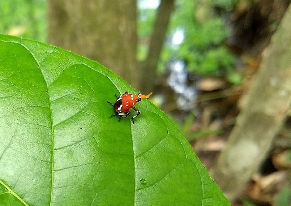 Spotted Lanternfly nymph on leaf