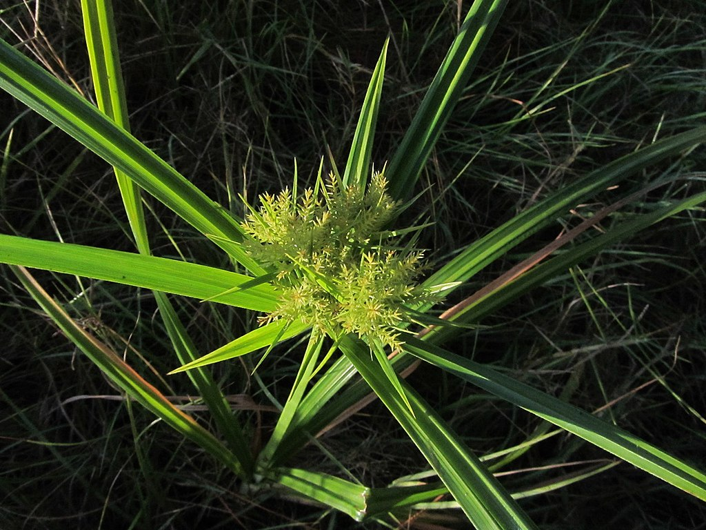 Nutsedge lawn weed