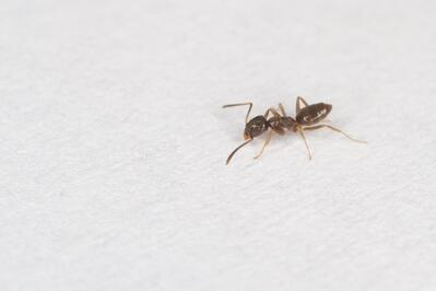 Odorous_house_ant_(17434366603)