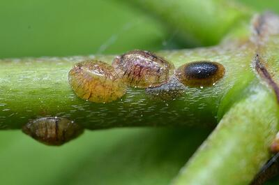 Scale insects on green branch
