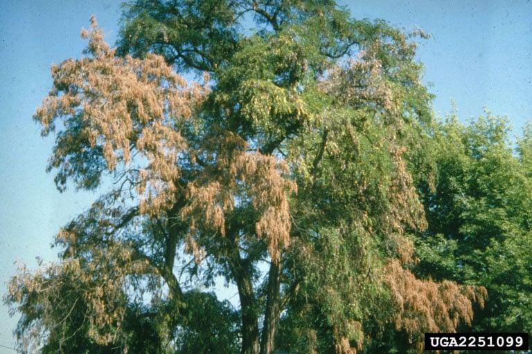 Verticillium Wilt tree fungus