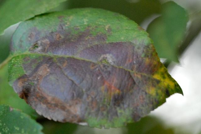 apple scab tree fungus on leaf