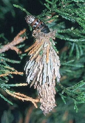 bagworm feeding on evergreen