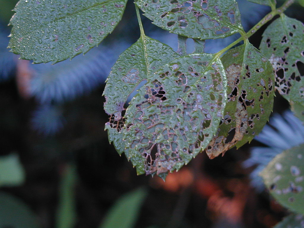 beetle damage to leaf