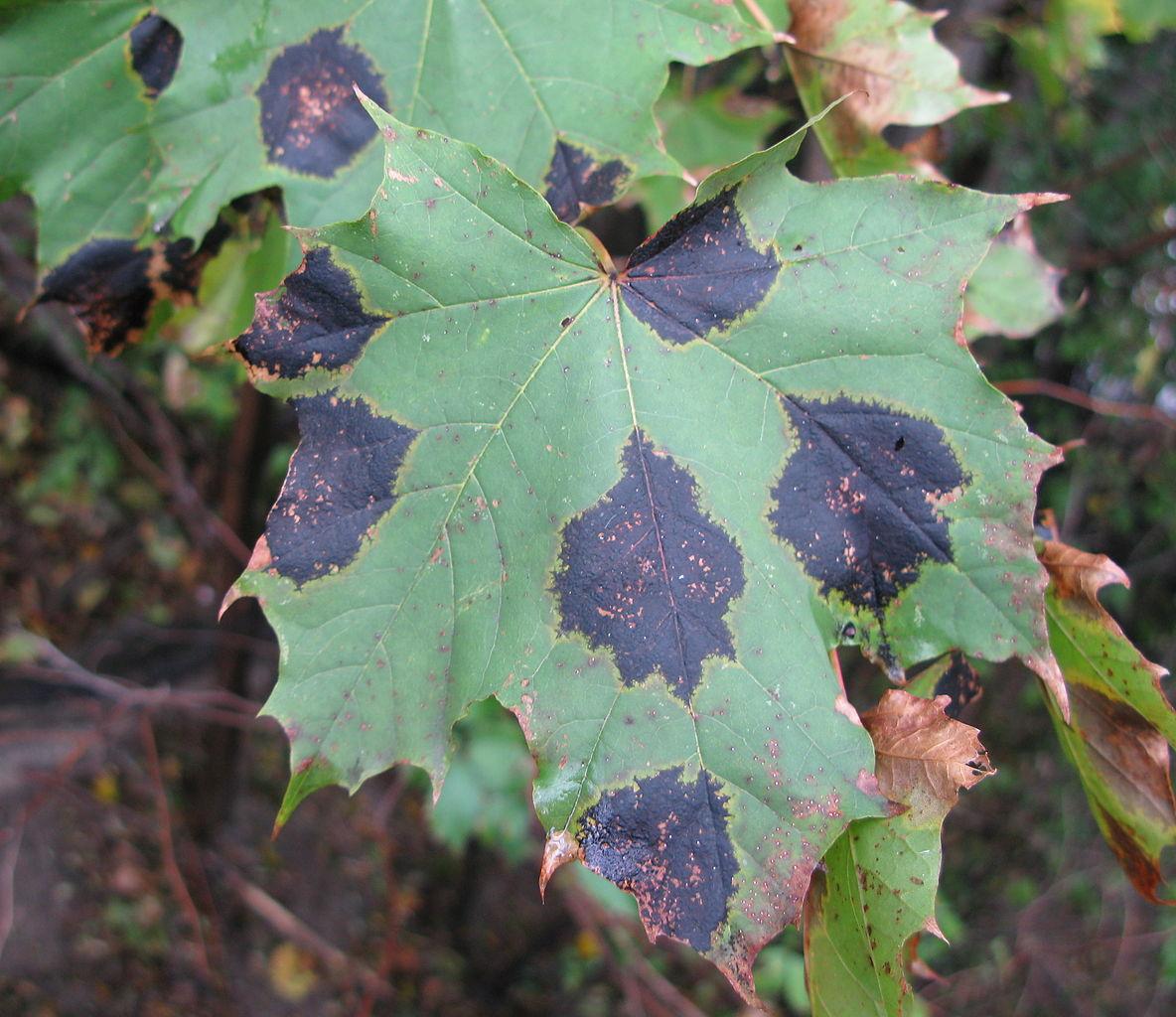 black tar spot on maple