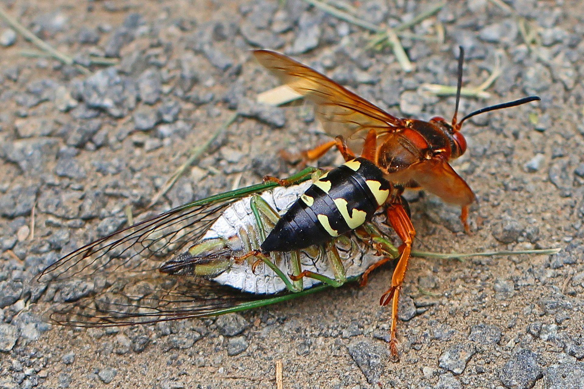 cicada killer-1