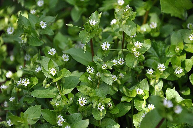 Chickweed, spring weeds, and weed control services in Allentown, Bethlehem, & Easton, PA