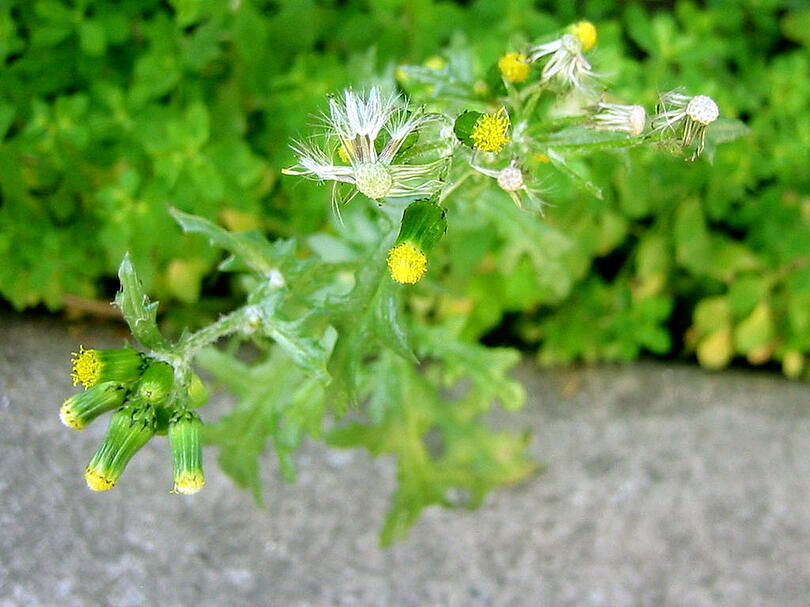Common groundsel, spring weeds, and weed control in Bethlehem, PA