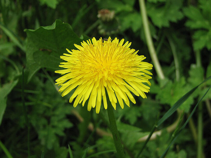 Dandelions, spring weeds, and weed control services in Allentown, Bethlehem, & Easton, PA