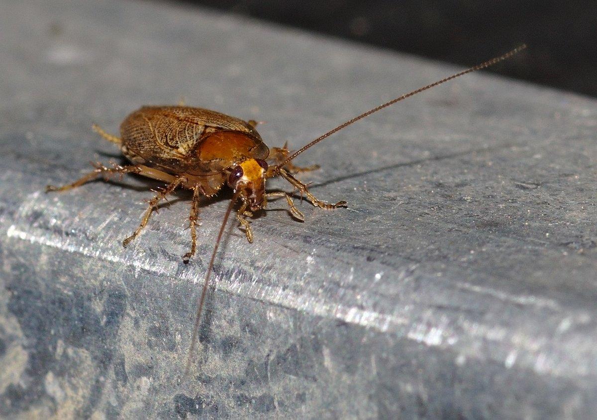 german cockroach in lehigh valley home