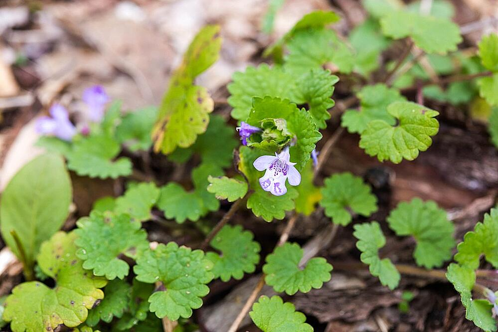 Ground ivy in lawn