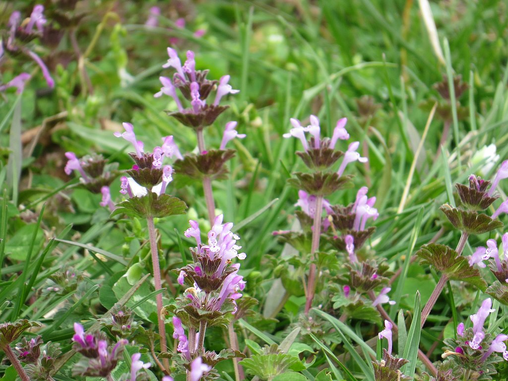 Henbit, spring weeds, and weed control in Allentown, Bethlehem, and Easton, PA