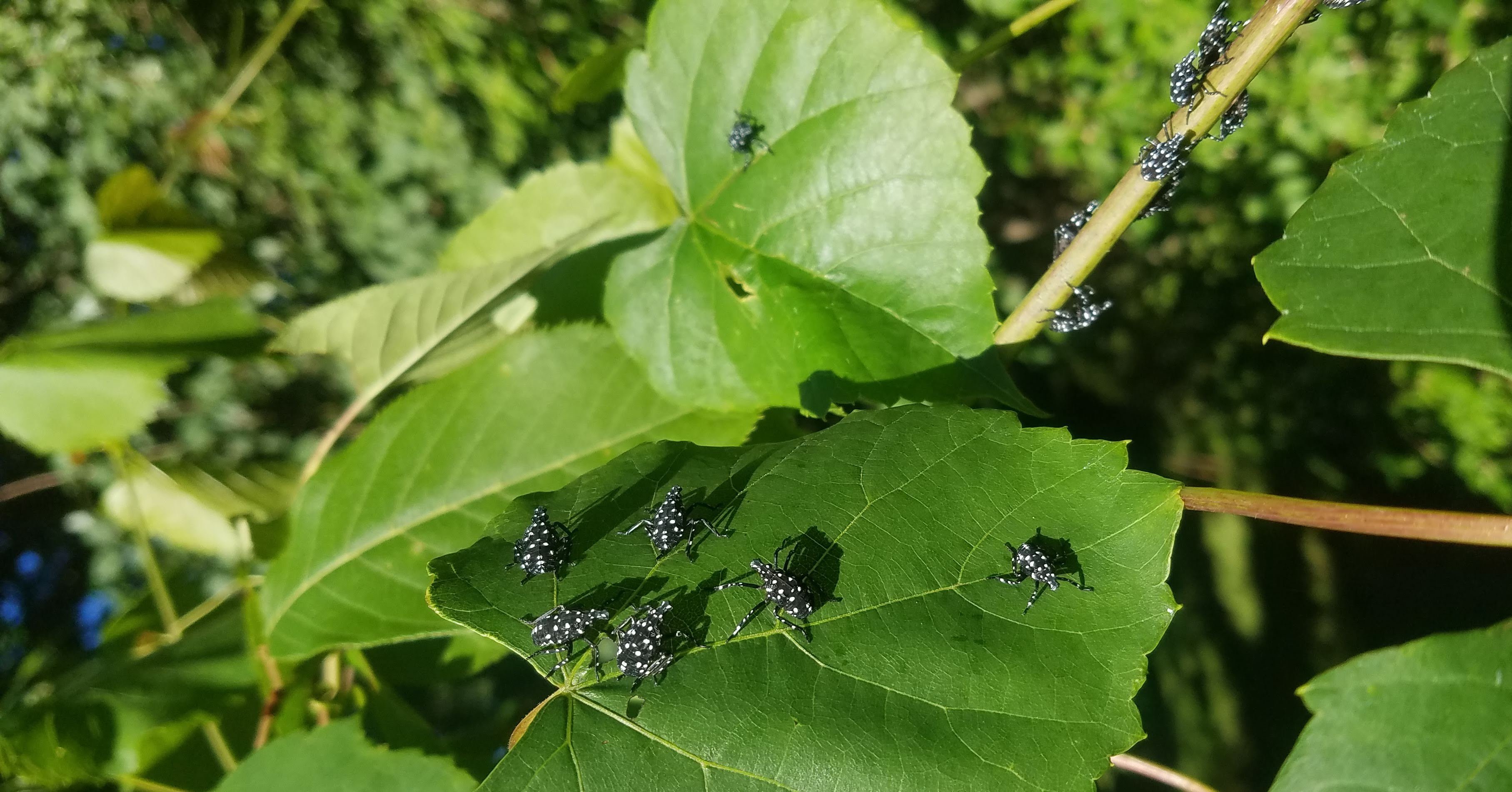 spotted lanternfly young