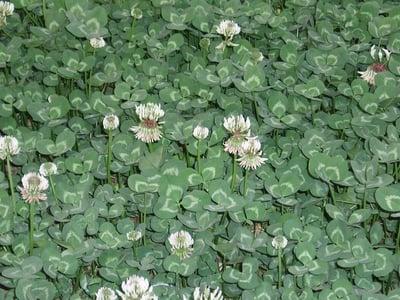 white clover in lawn
