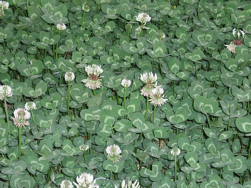 White clover, spring weeds, and weed control in Allentown, Bethlehem, and Easton, PA