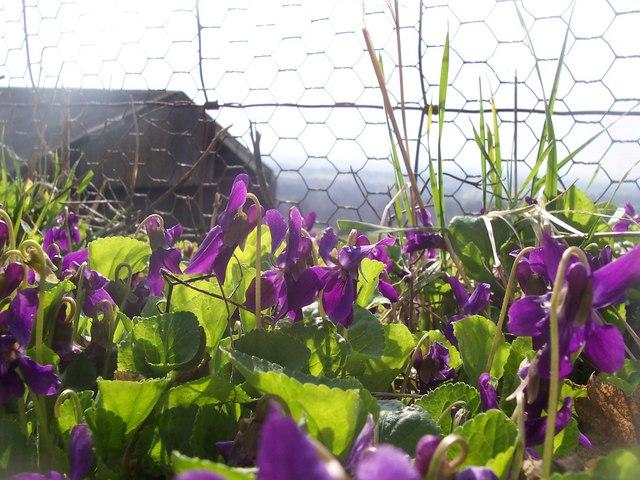 violet weed in lawn