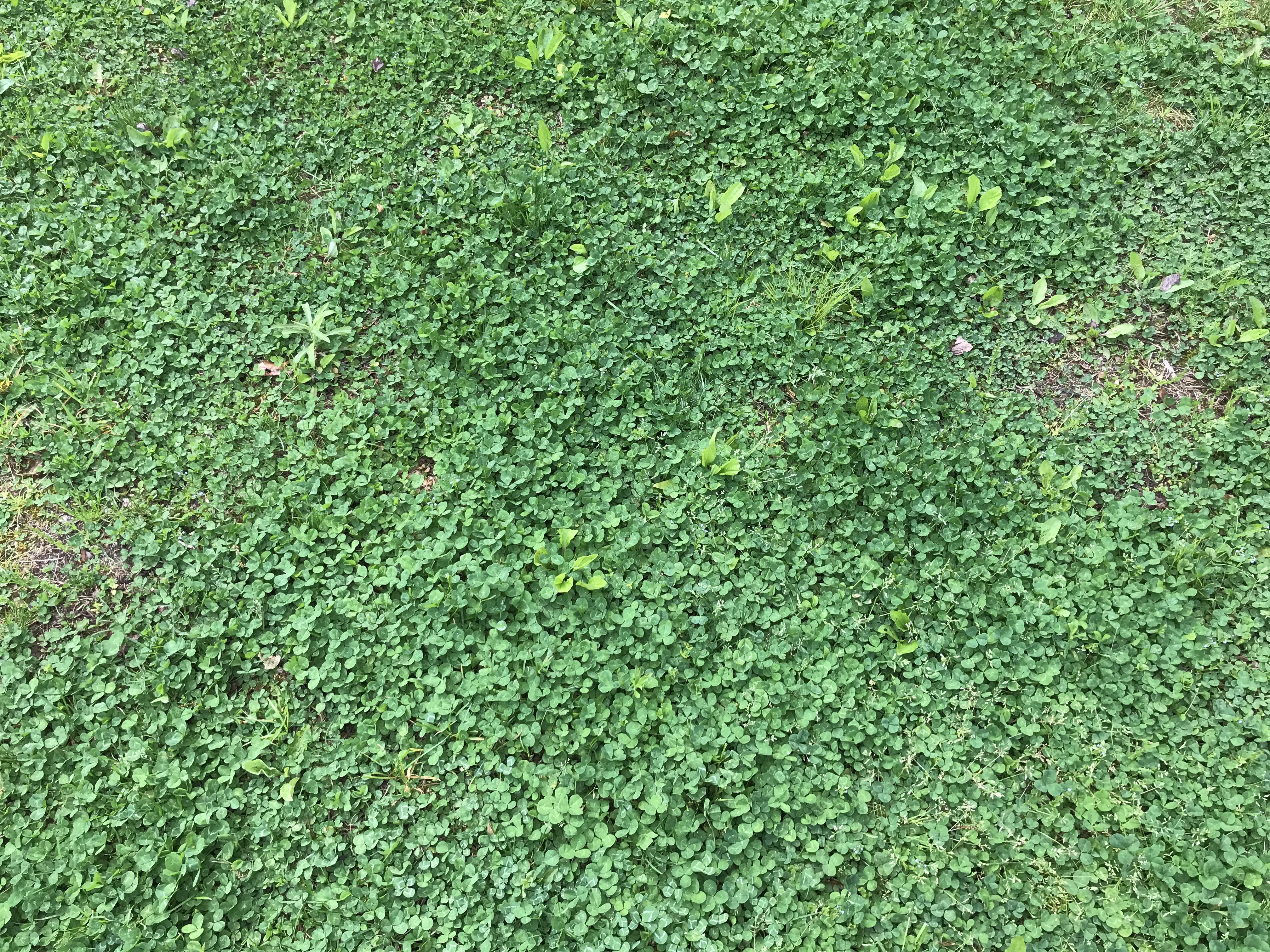 Emmaus, PA before photo of weeds thriving in their lawn