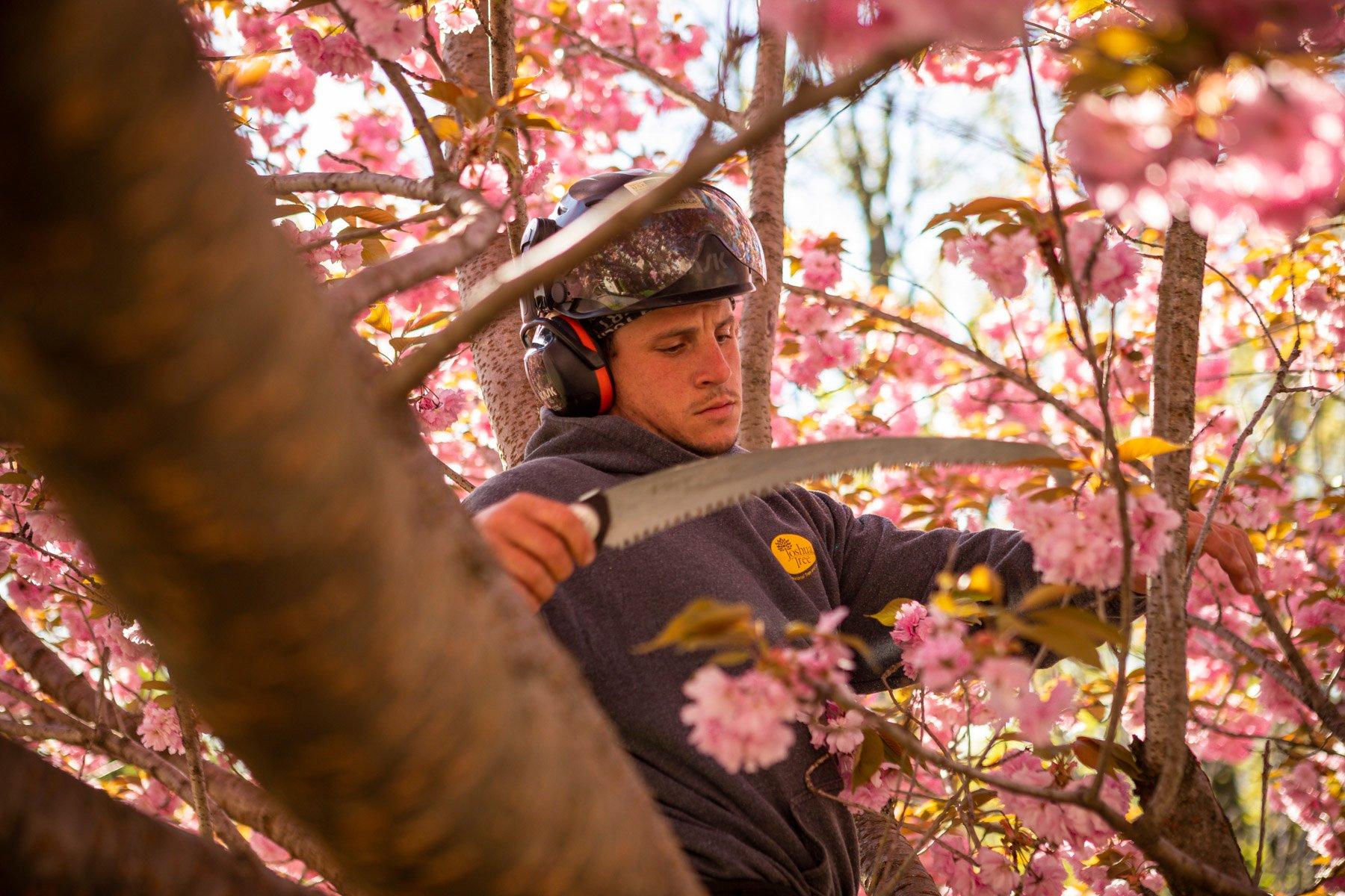 Certified tree arborist pruning a flowering tree