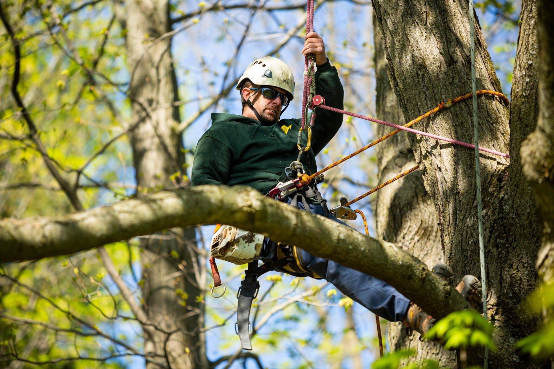 Arborist tree climber preparing to prune a tree