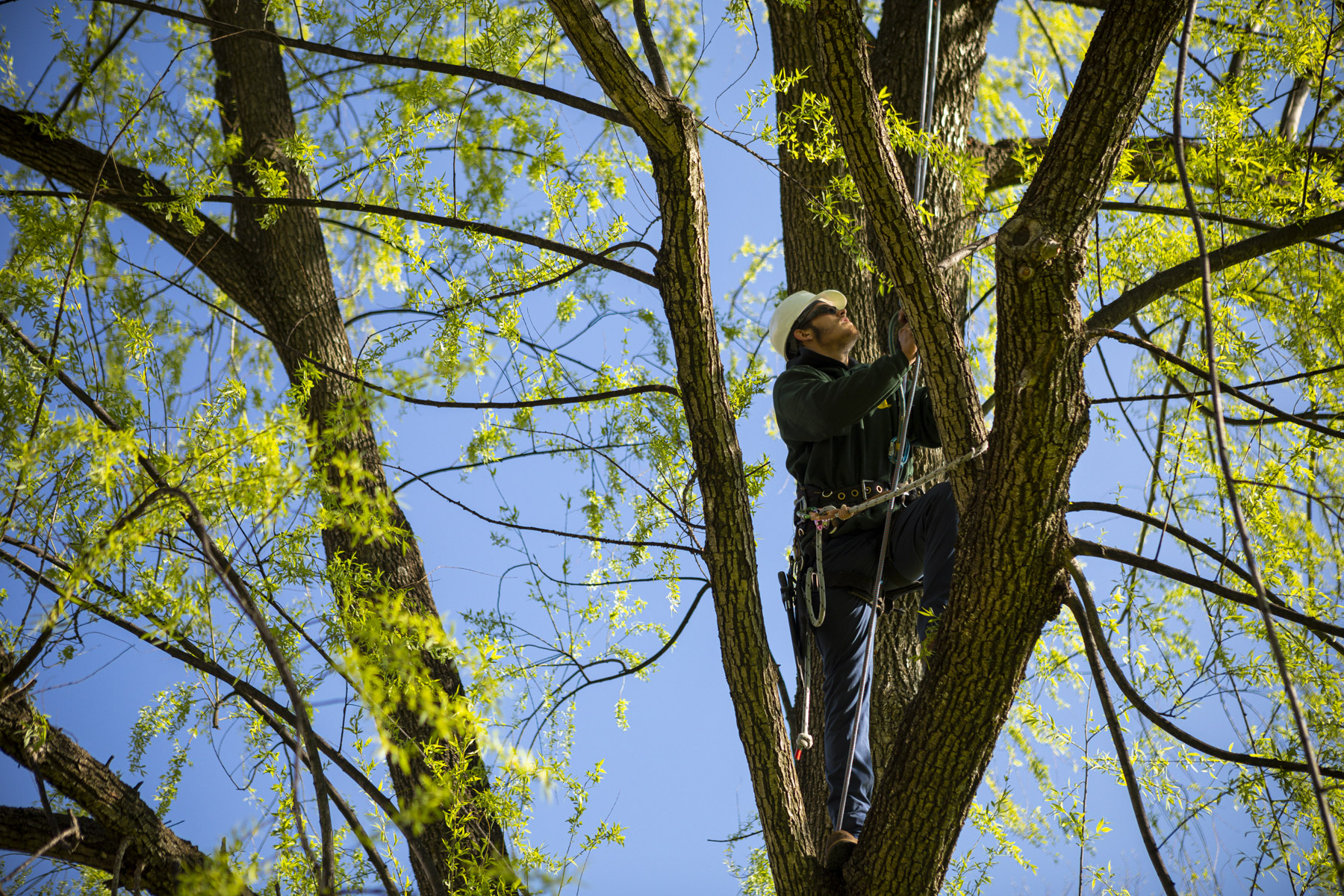 Arborist tree climber pruning. 7