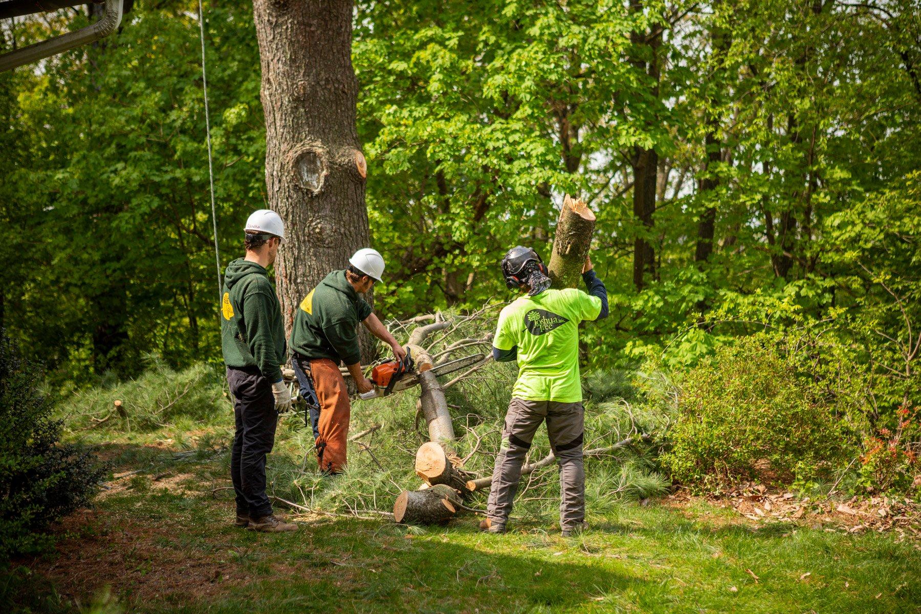 Tree care technicians removing a tree