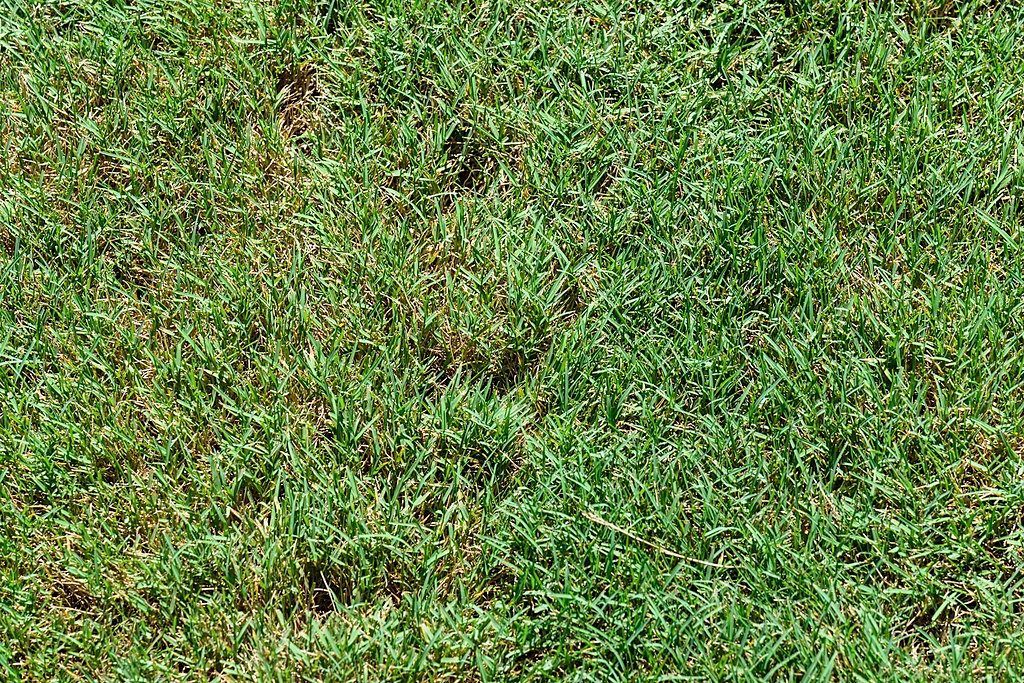 Bentgrass in lawn