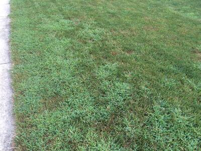 Crabgrass in turfgrass