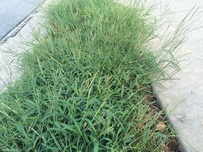 Crabgrass with seedheads