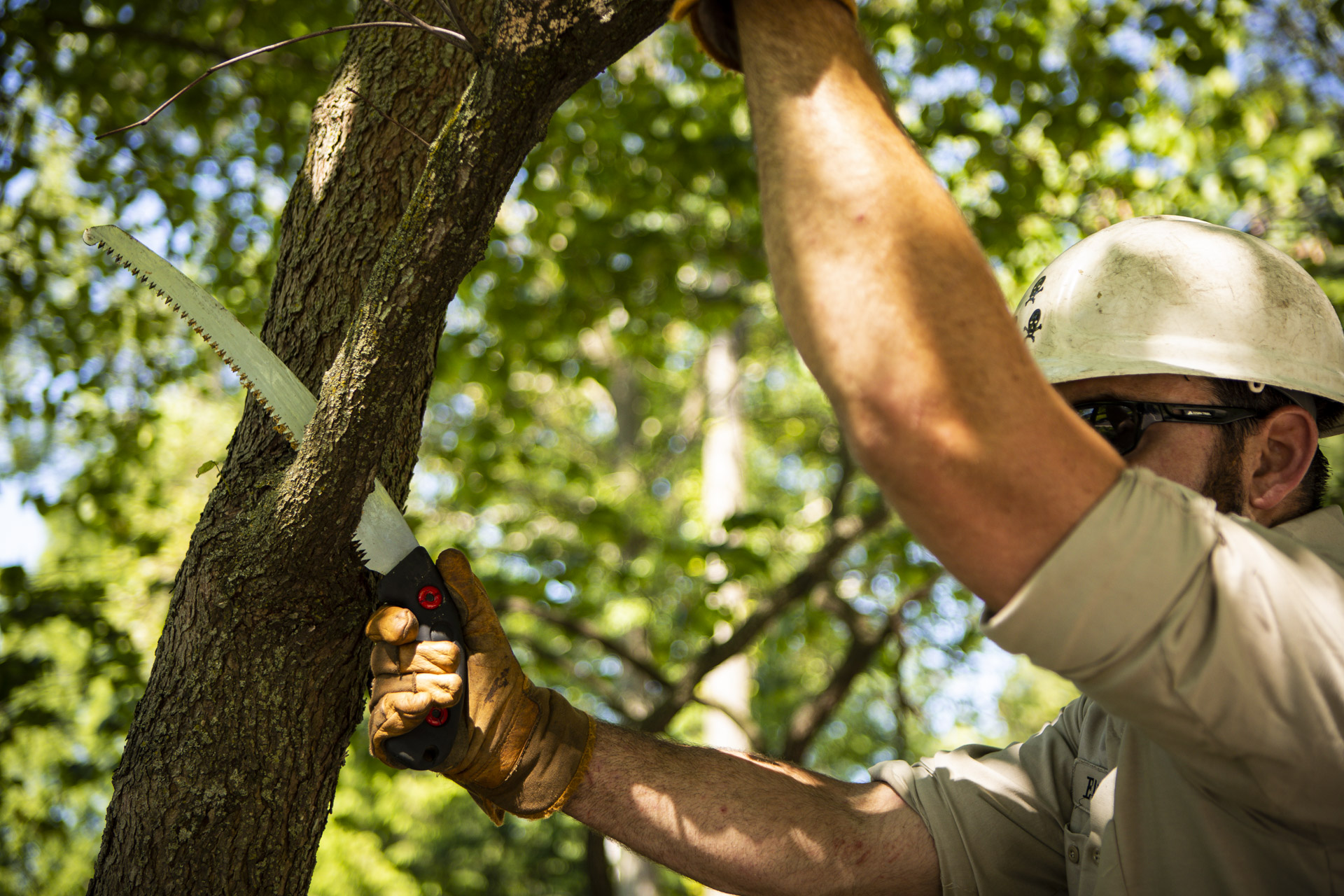 Tree pruning crew removing dead limbs