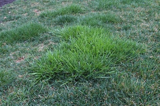Orchardgrass in lawn
