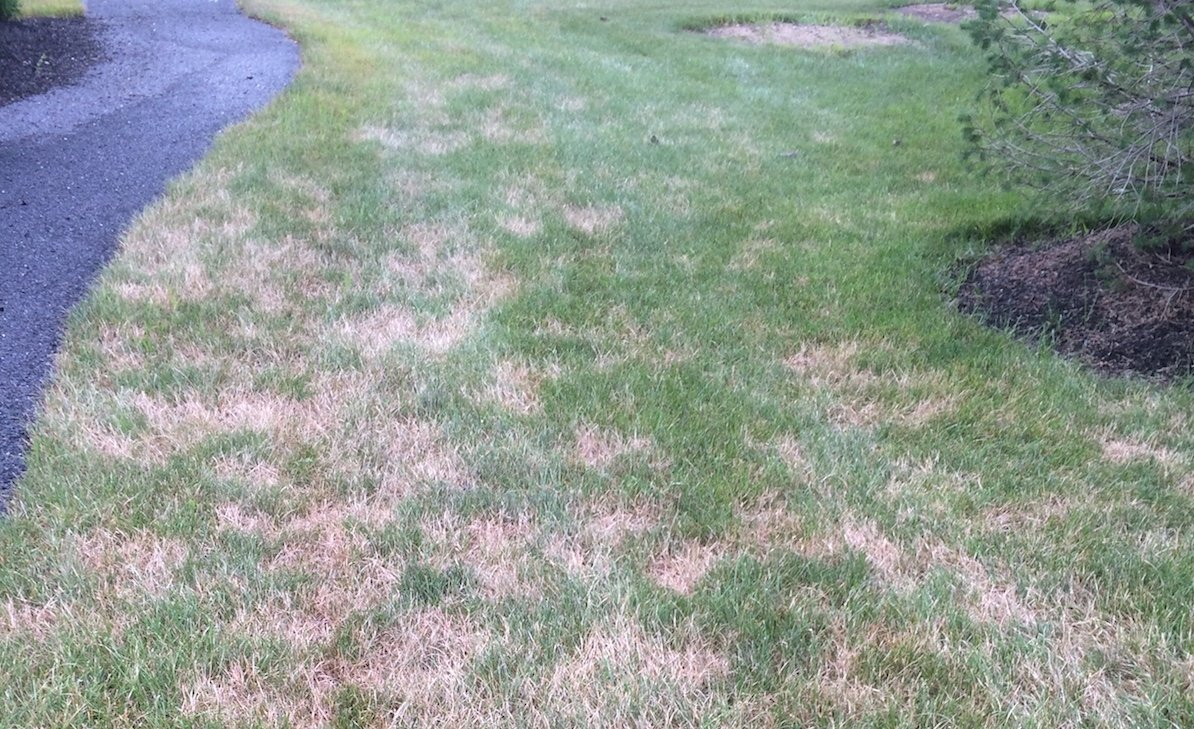 lawn with turf disease in Pennsylvania