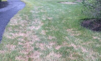 yellow lawn from drought damage
