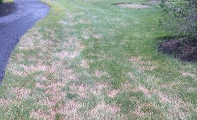 brown lawn from drought stress