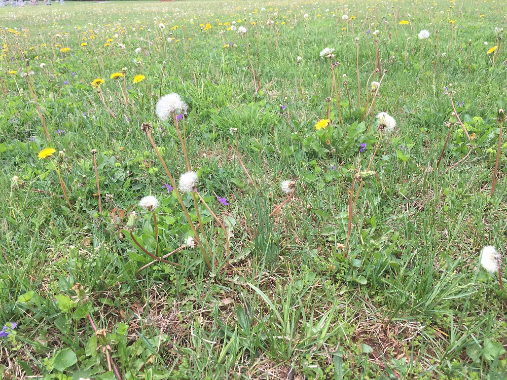 lawn with weeds that needs a new lawn care company