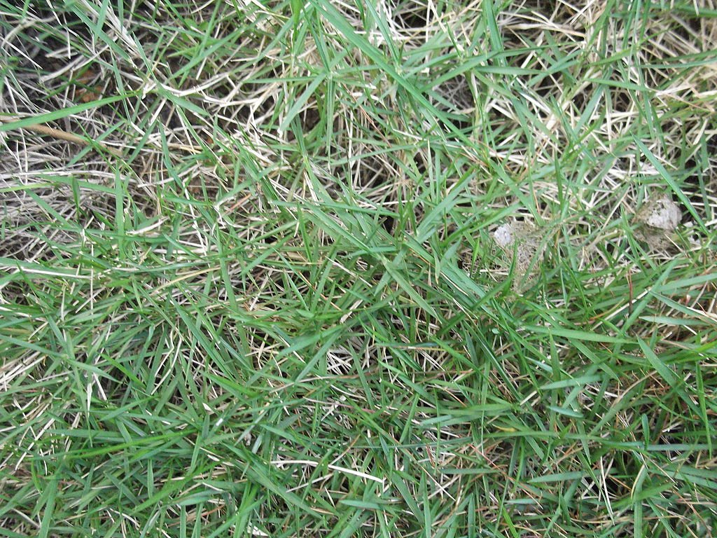 Zoysiagrass in lawn
