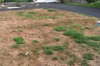 chinch bug  lawn damage edits