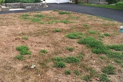brown lawn damaged by chinch bugs