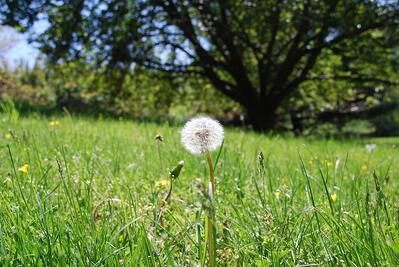 Dandelions, spring weeds in PA, and weed control services.