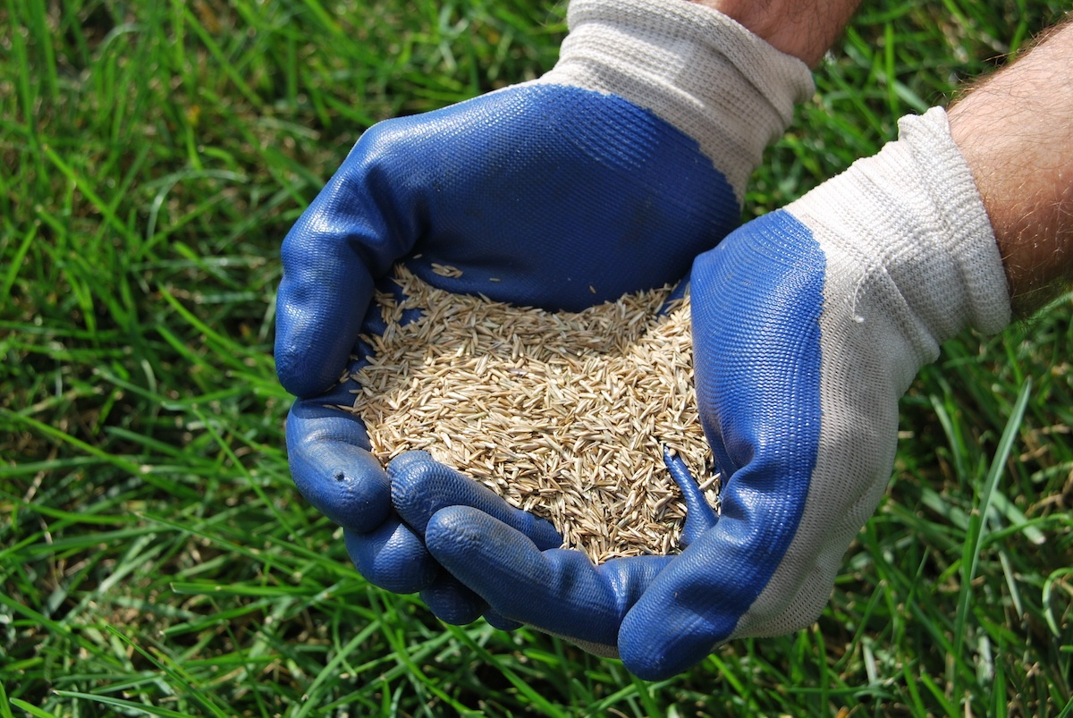 grass seed before being spread over lawn