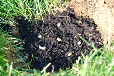 Grubs in lawn soil