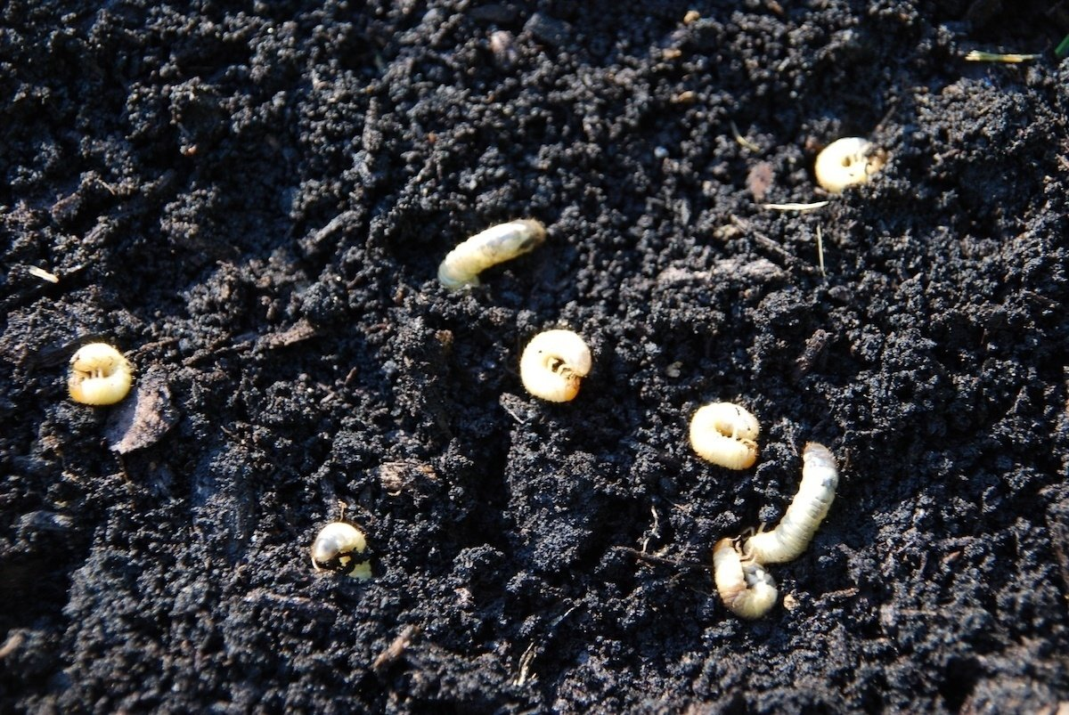 Grubs in lawn that needs grub control