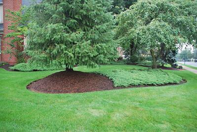 tree in lawn with mulch